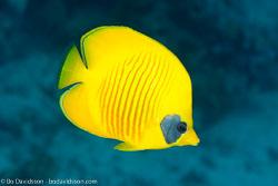 BD-131207-Marsa-Alam-0850-Chaetodon-semilarvatus.-Cuvier.-1831-[Bluecheek-butterflyfish.-Rödahavsfjärilsfisk].jpg